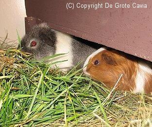 hoeveel soorten hamsters zijn er